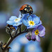 Ladybird and Forget-Me-Nots