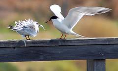 Hayward terns