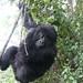 Gorilla Swingin