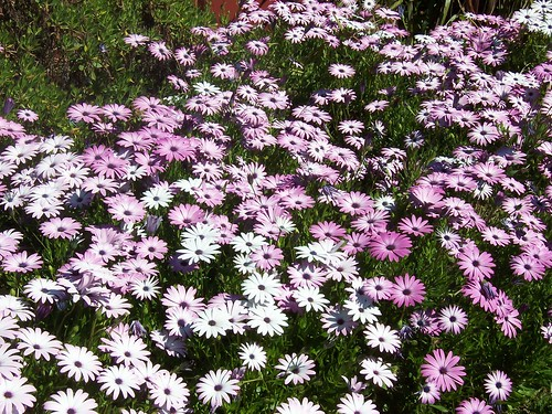 Purple & white daisies