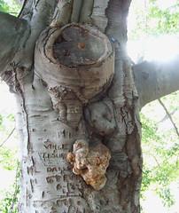 beech with fungus