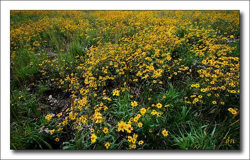 wild flowers at sandia 3