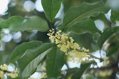 fragrant white-colored olive