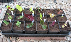 Coleus Cuttings Part 2