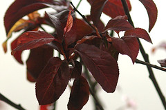 purple leaf cherry plum2