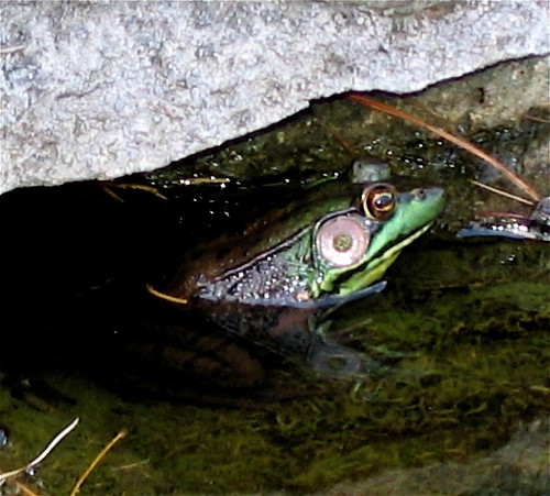 Adult green frog