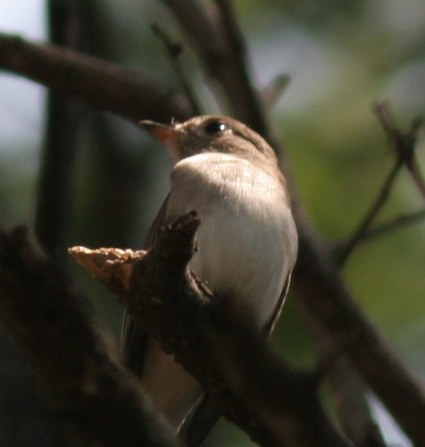 IMG_0019 Asian  Brown Flycatcher