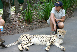 Cheetah with keeper