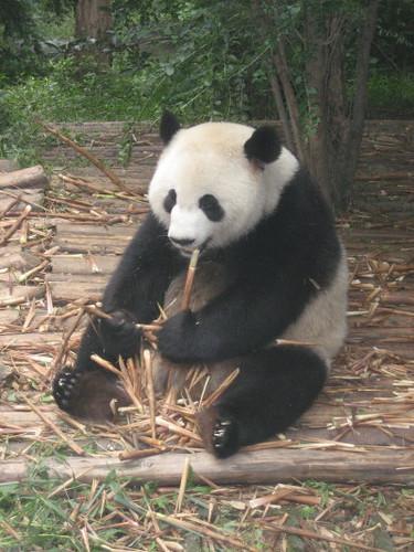 hungry_panda_1