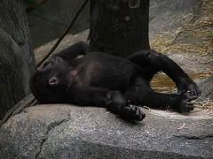 gorilla_nap