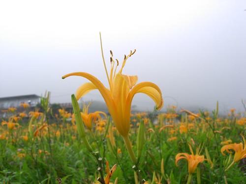 陽光一般燦爛的金針花