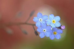 Forget me not - as I will be away for 2 weeks :) photo by lfeng1014