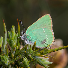 Green Hairstreak photo by Mitchy P