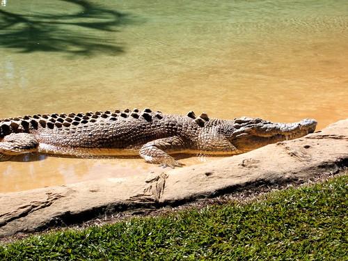 Crikey! A Croc!