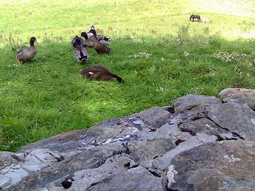 A Duck Gang