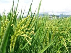 実る / fine crop