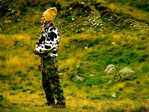 drab cow