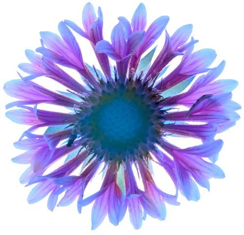 Blue Gaillardia