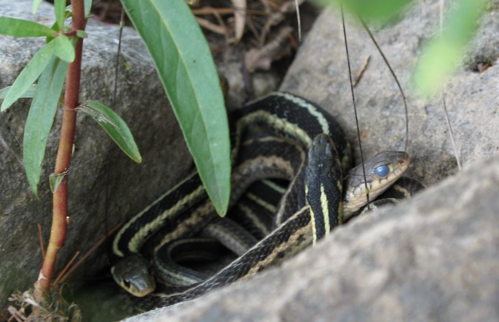 Snakes on a rock