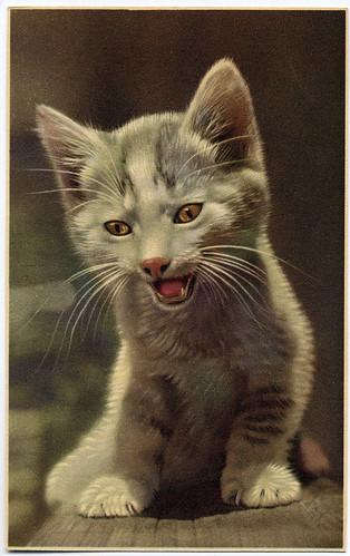 Postcard: Belgian kitten