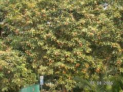 Rambutan Tree (4)