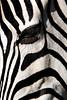 zebra eye lashes