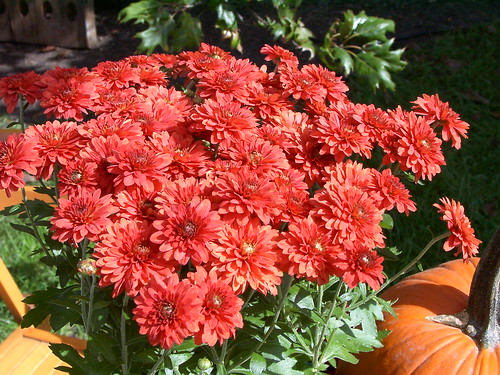 Orange Mums at Chicago Botanic Garden