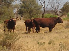 Steers and Cows