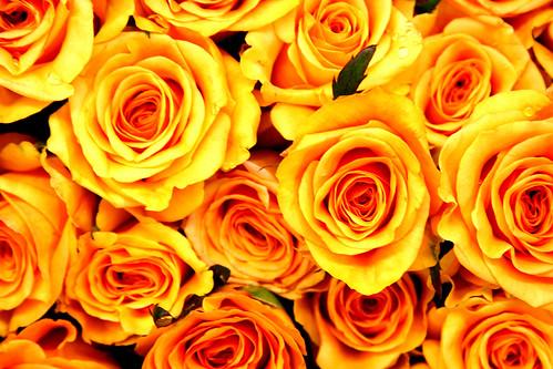ملف كامل عن زراعة الورد والعنايه به 11708783_a790f19bb1.