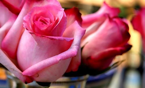 """"""" وردة الجوري"""" 12236224_9308df7dcb."""