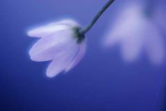 Allium cyneum / アリウム キネウム