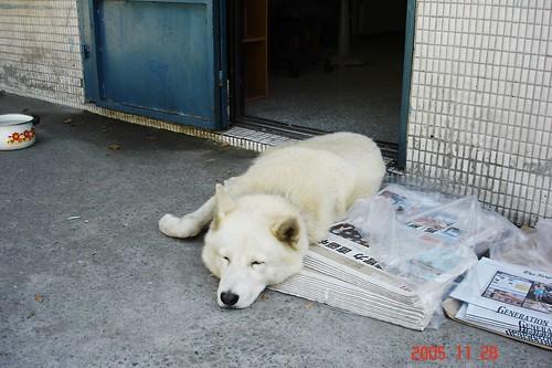 福和國中警衛室前面的大毛狗,好像熊呀!
