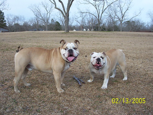olde english bulldogge vs english bulldog difference between olde english bulldogge vs english bulldog 6461