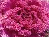 Decorative Cabbage - 葉牡丹