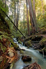Redwoods and West Berry Creek, Big Basin State Park