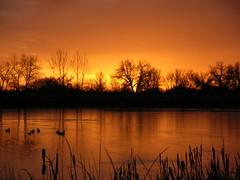 Dawn Ducks and Cattails