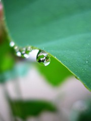 Raindrops on a lotus leaf 2