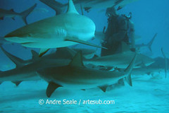 Tubaroes nas Bahamas