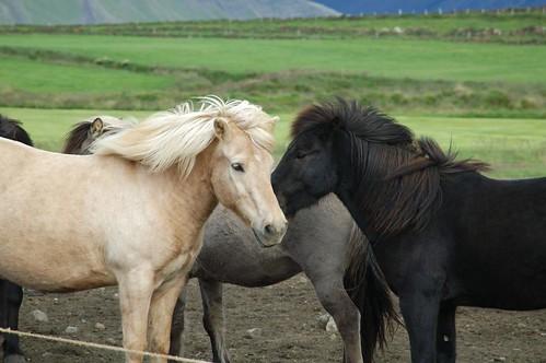 Icelandic_horses_@_Eldborg,_Iceland_4.jpg