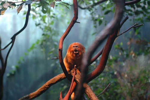 Golden Tamarin, Woodland Park Zoo, Seattle, WA -- (cc) by Michael Hanscom