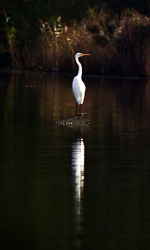 Egret, Manly Lagoon