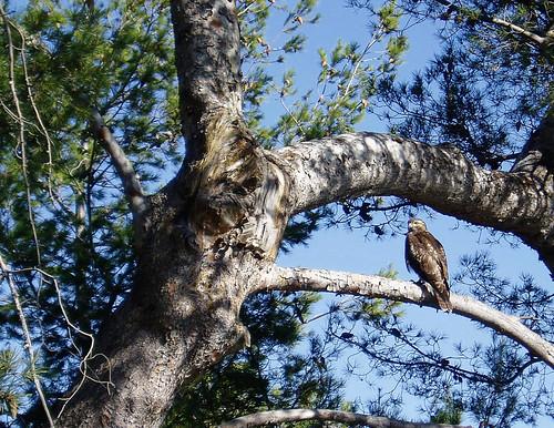 Hawk in Paradise Cove