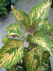 Unknown Coleus from Bel Air