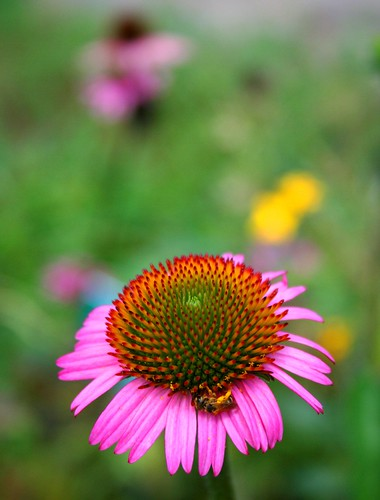Looking Down at the Coneflower