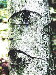 beech eyes