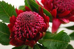 Protea Waratah noel
