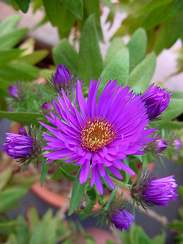 Michaelmas daisy 'Purple Dome'