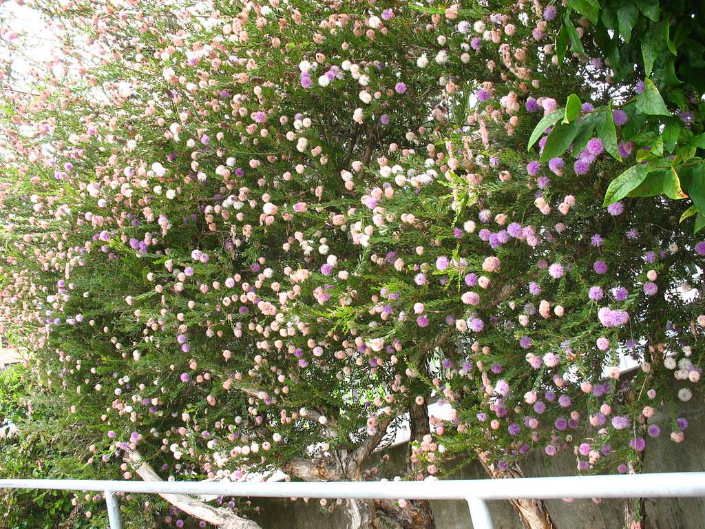 Melaleuca nesophylla