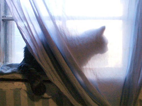 kitten, veiled