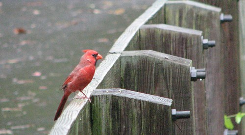 Rainy Day Cardinal